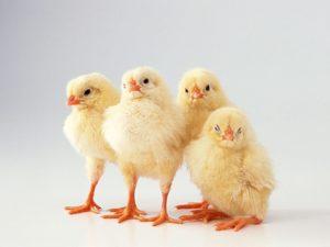Обзор витаминных препаратов для цыплят