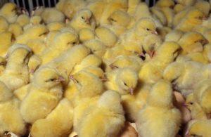 Описание и способы лечения основных болезней цыплят
