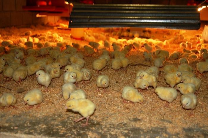 Выращивание и кормление бройлеров в домашних условиях
