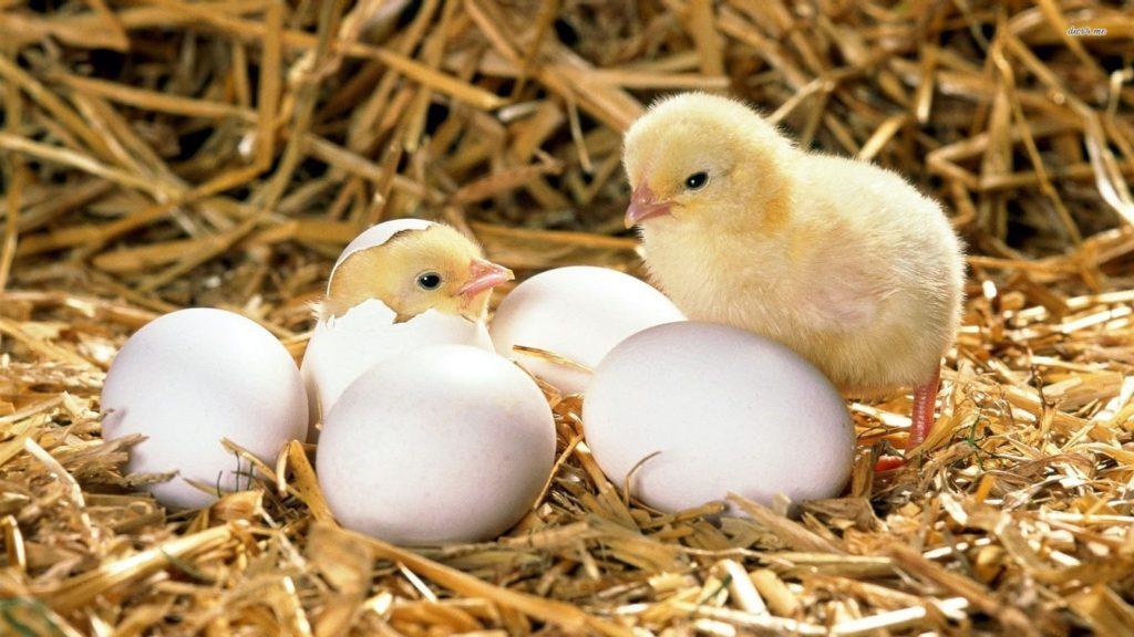 Сколько времени курица сидит на яйцах: все о высиживании цыплят