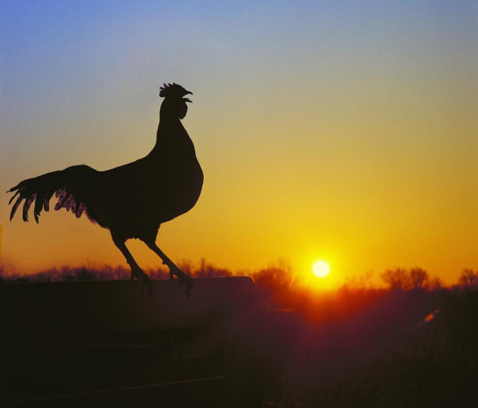 Самец кукарекает во время восхода солнца