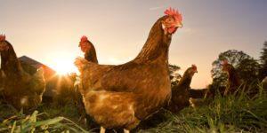 Сколько лет живут петухи и курицы
