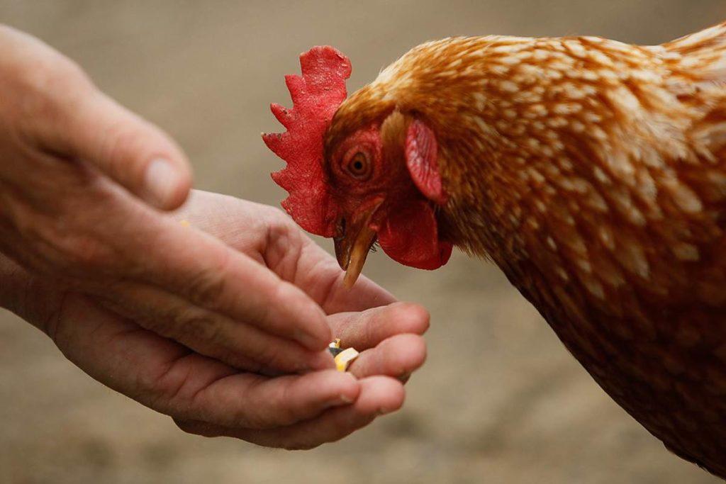 Давать птице витамины