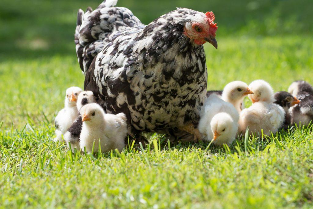 Микоплазмоз передается от матери к потомству