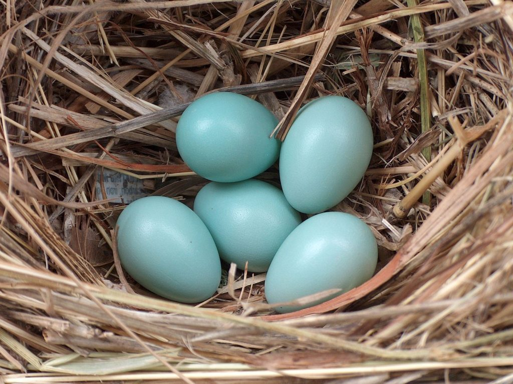 Голубые яйца кур породы аракуана