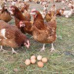 Особенности яйценоскости кур несушек