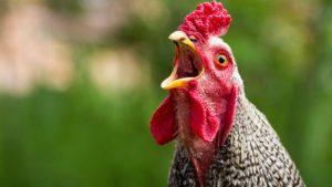 Чем лечить кур, если они хрипят