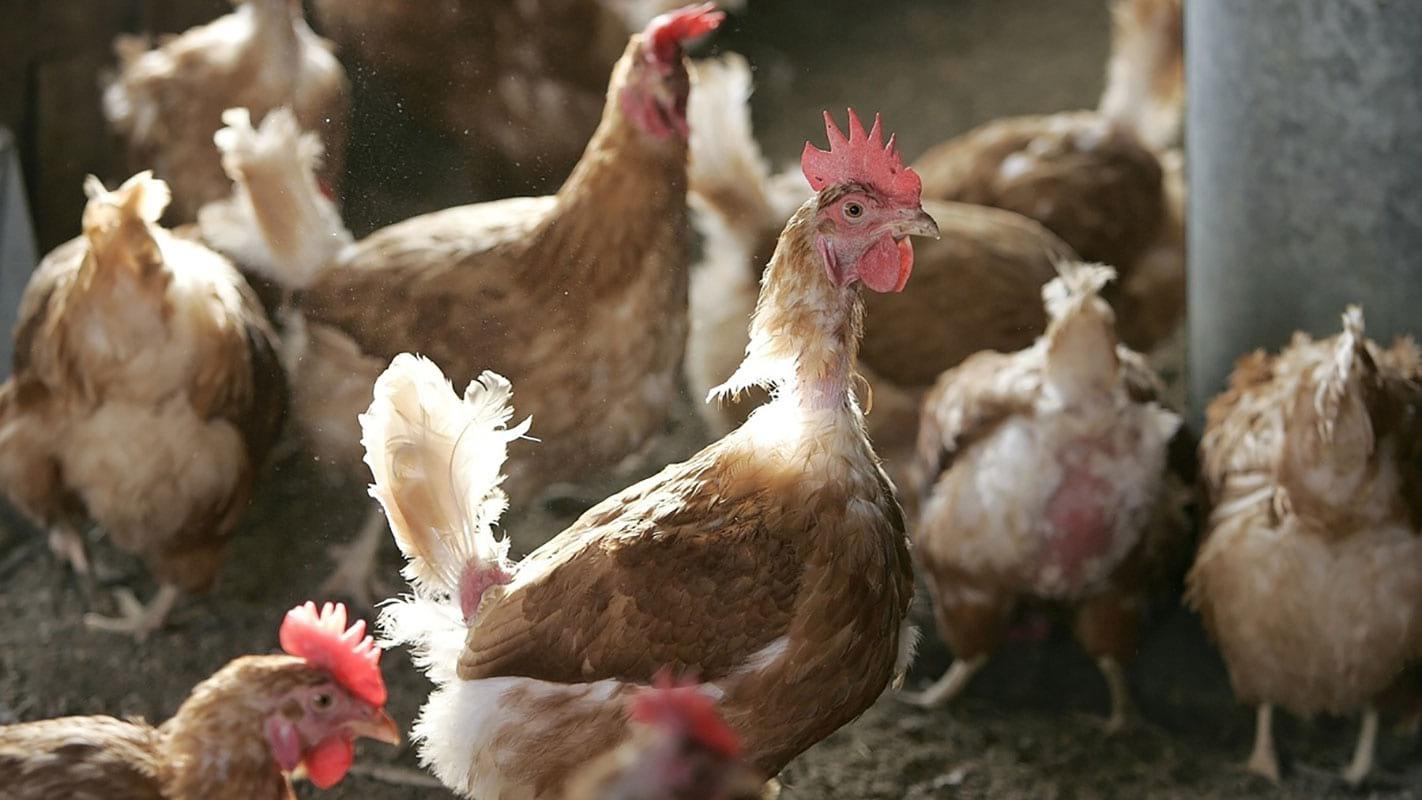 Определение возраста куриц