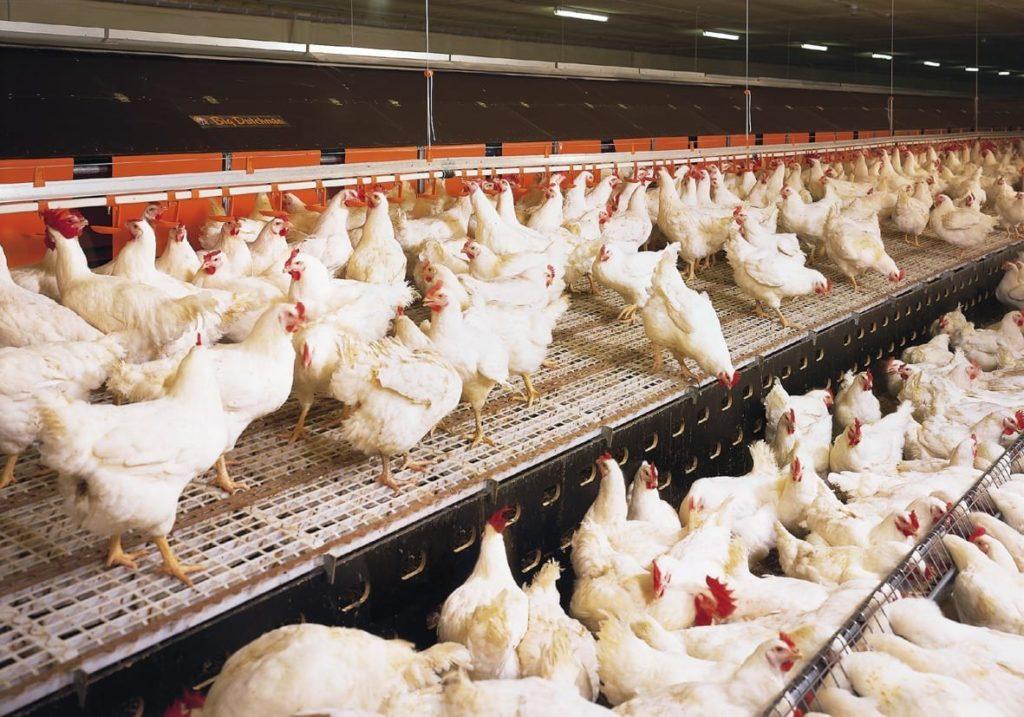 Покупка кур на птицефабрике