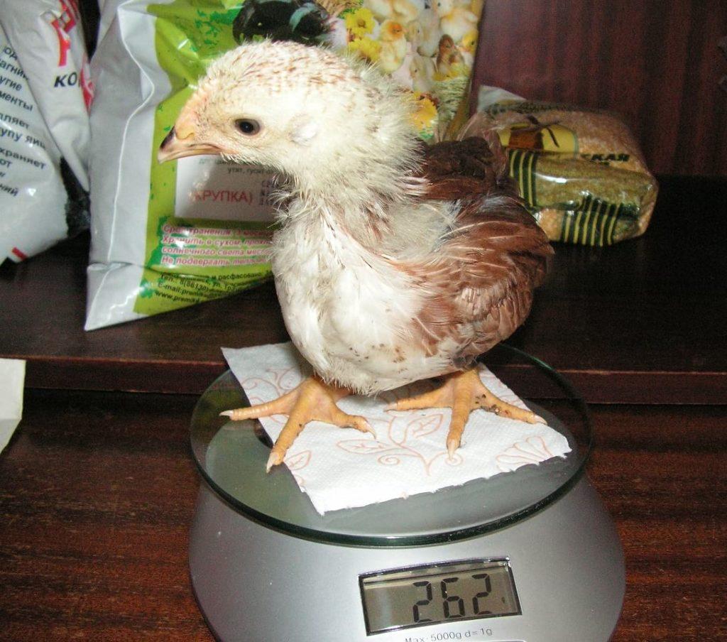 Как определить вес цыпленка