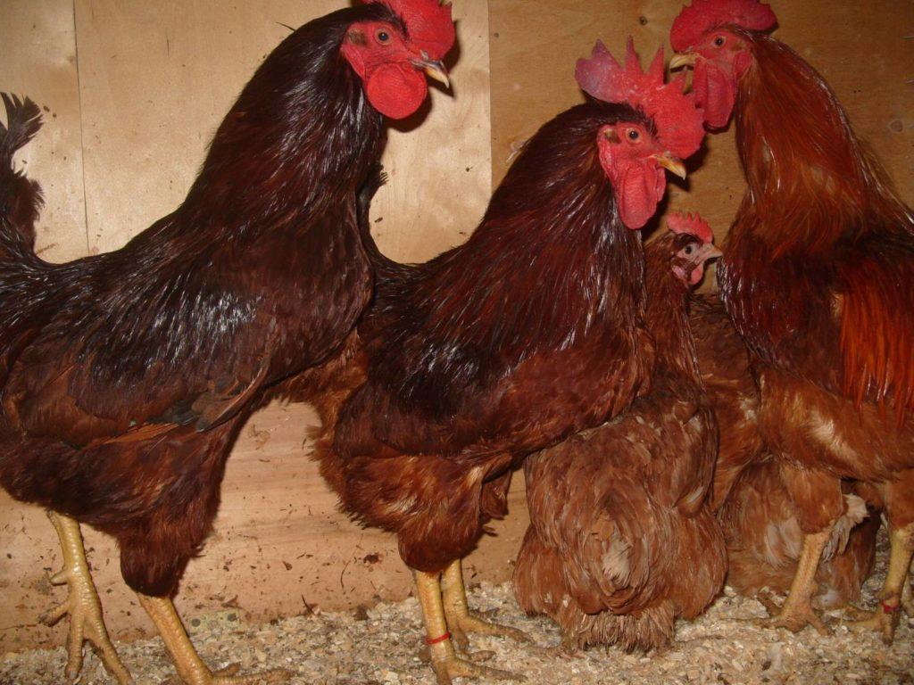 Род Айленд порода кур