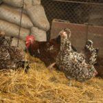 Описание ливенской породы кур