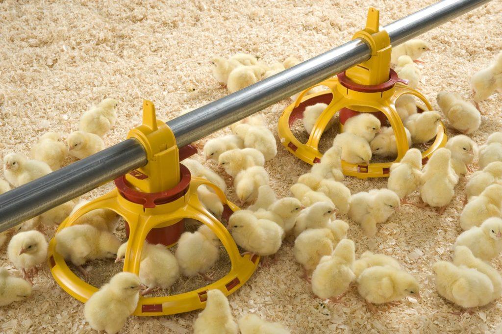 Добавка повышает аппетит у цыплят