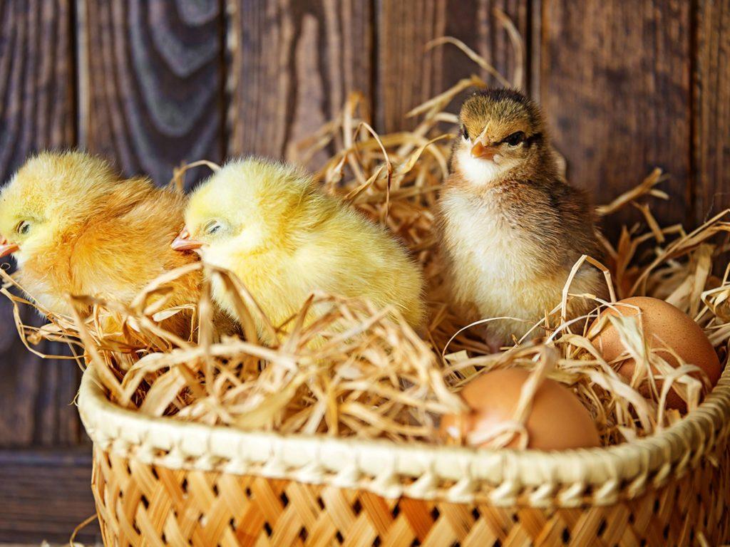 Обустройство гнезда для высадки яиц
