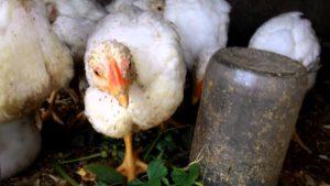 Бройлеры заваливаются и падают на ноги: что делать птицеводу