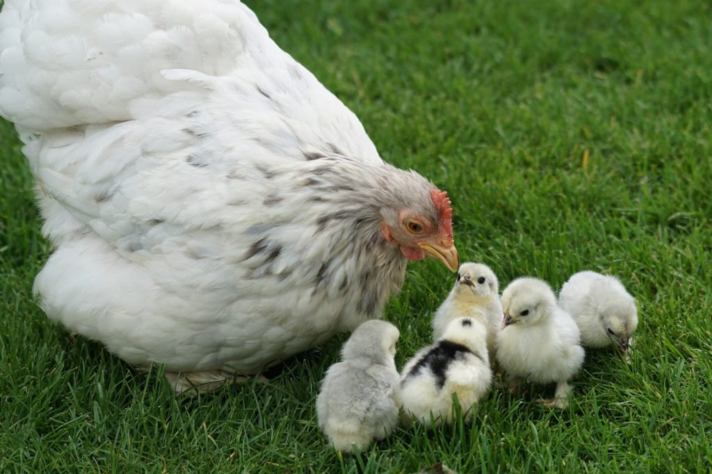 Курица клюет птенцов