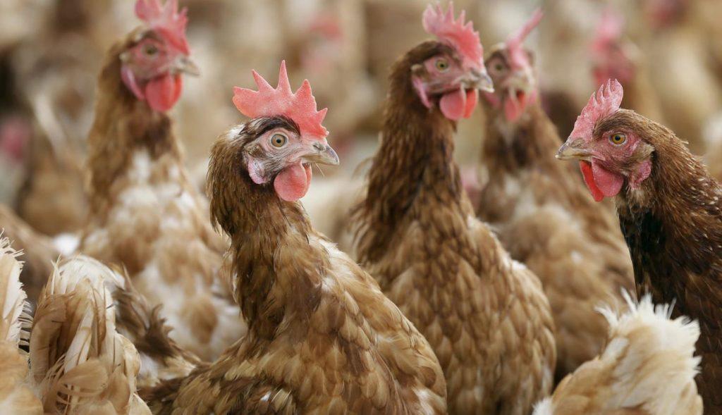 Цыплята клюют друг друга
