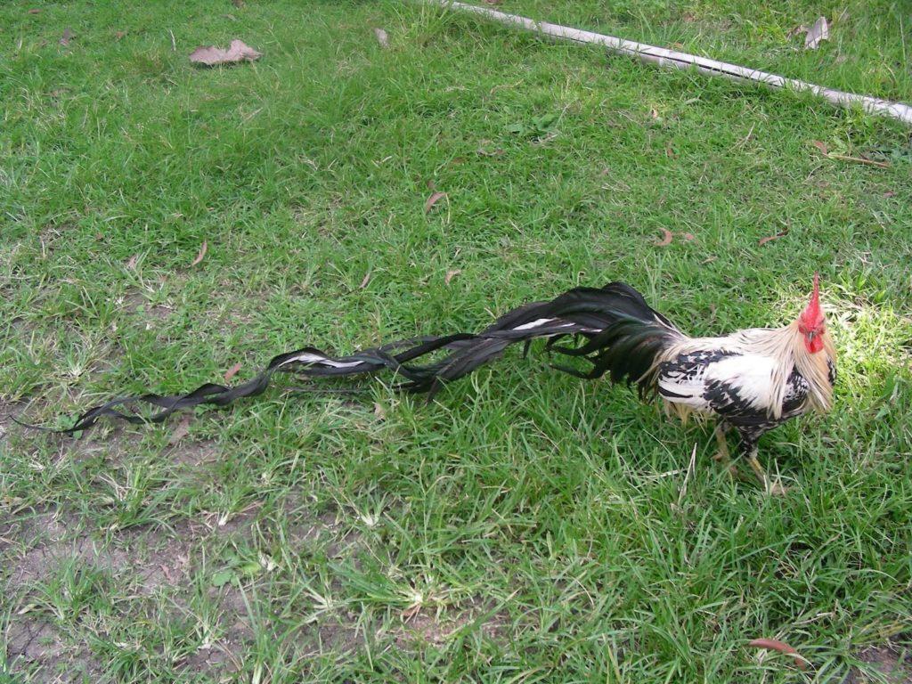 Йокагамского петуха
