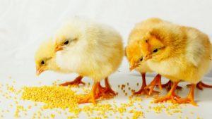 Можно ли цыплятам давать травы, овощи и пшено