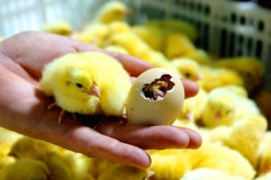 Процесс инкубации куриных яиц и правила вывода цыплят