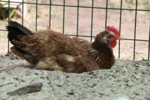 Как избавиться от куриных вшей (пероедов) в курятнике
