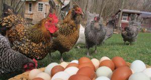 Уход за курицами в домашних условиях содержание 625