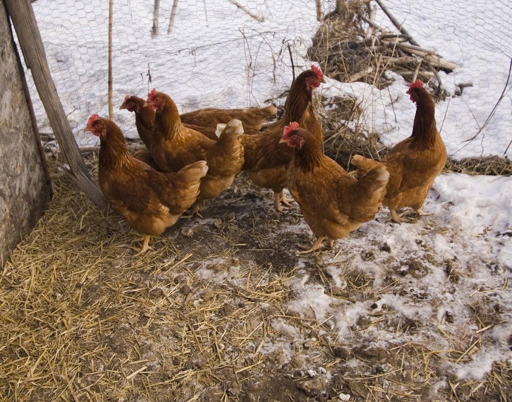 Снижение яйценоскости в зимой