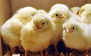Уход и кормление цыплят дома