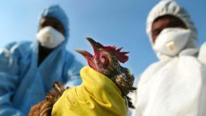 Птичий грипп у кур: признаки, стадии, защита от заражения
