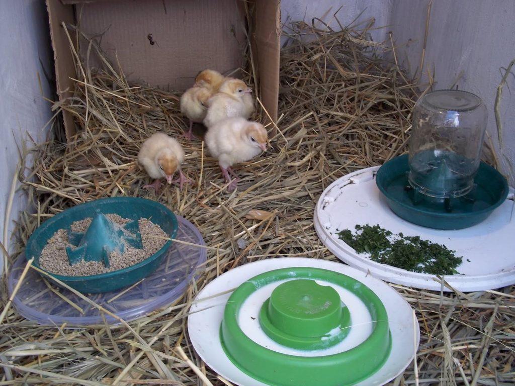 Кормление птиц зеленью