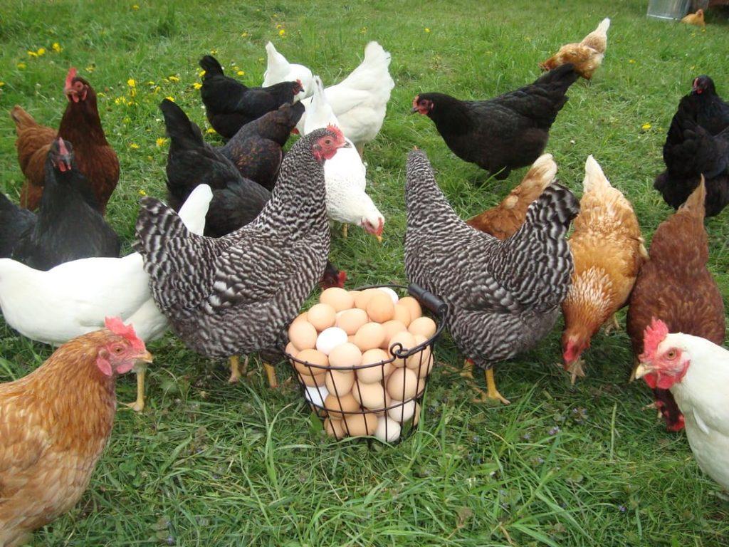 Улучшение яйценоскости у несушек
