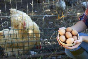 Может ли курица нести яйца без контакта с петухом