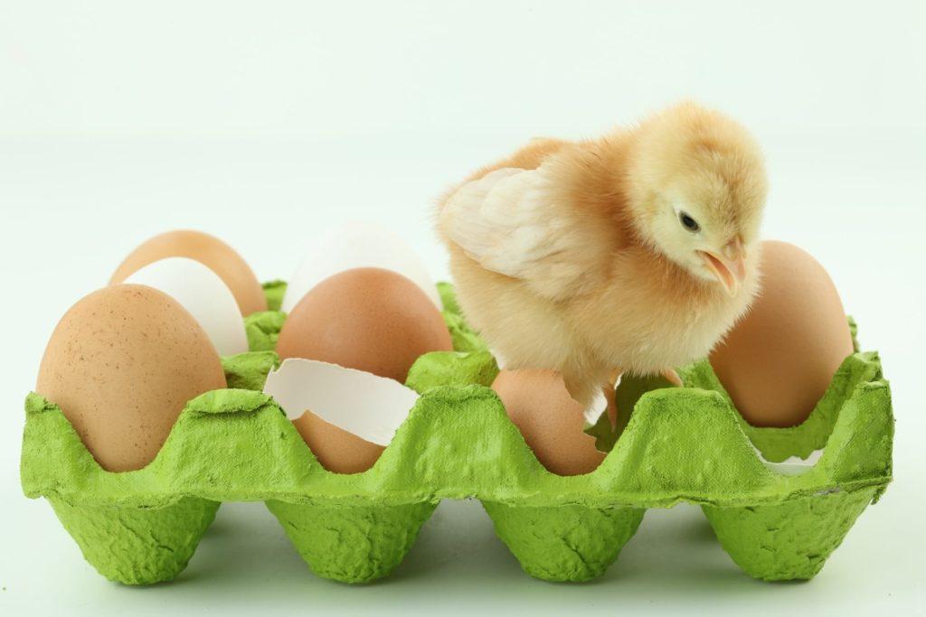 Цыплята будут появляться только, после акта самки с самцом