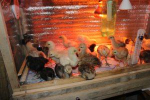 Инфракрасная, синяя, зеленая лампы для обогрева цыплят