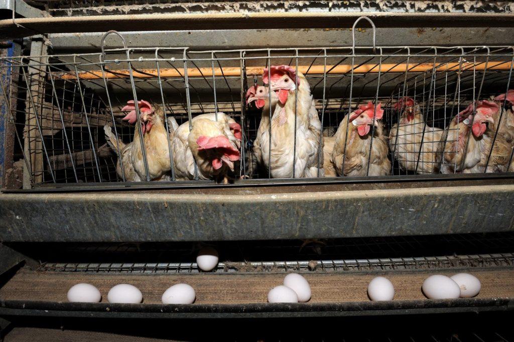 Выращивание кур в клетке