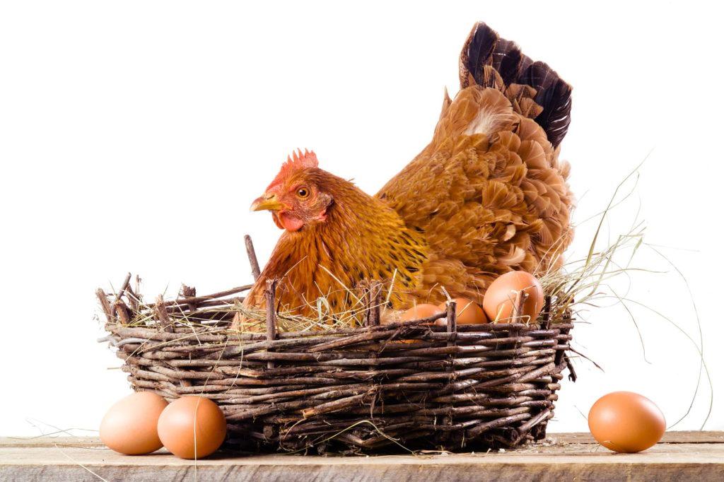 Яйценоскость домашних птиц
