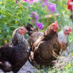Как по внешнему виду определить возраст курицы несушки