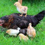 Как подсадить маленьких цыплят к наседке