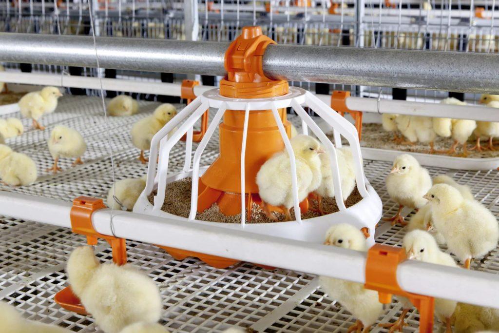 Рацион питания цыплят в зависимости от возраста