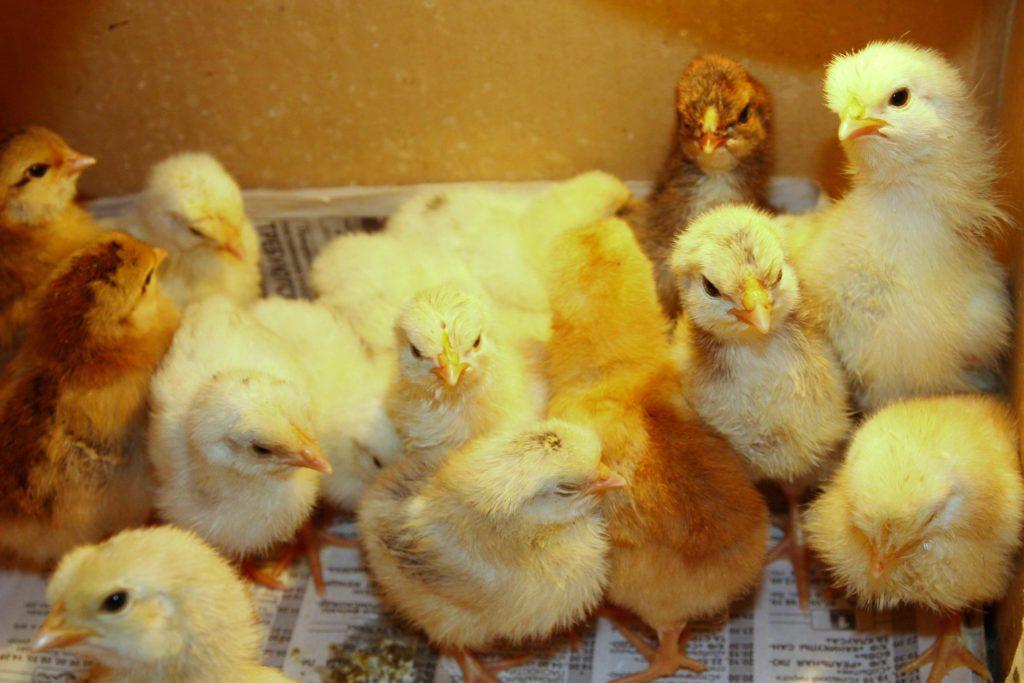 Заболевания у цыплят