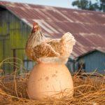 Как выбрать яйца и посадить на них курицу