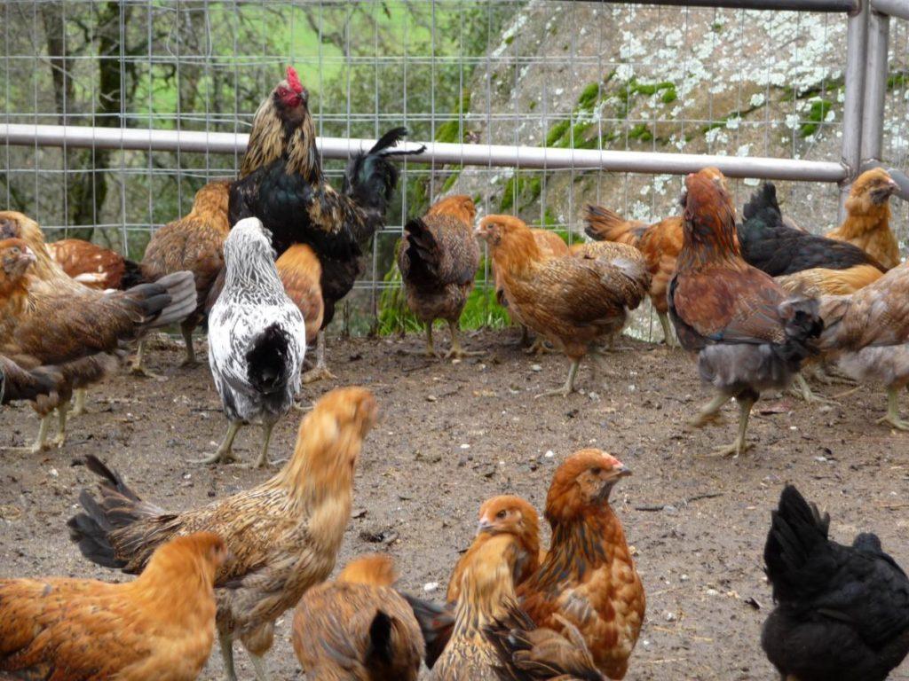 Цыплята вытягивают шеи - симптом бронхита
