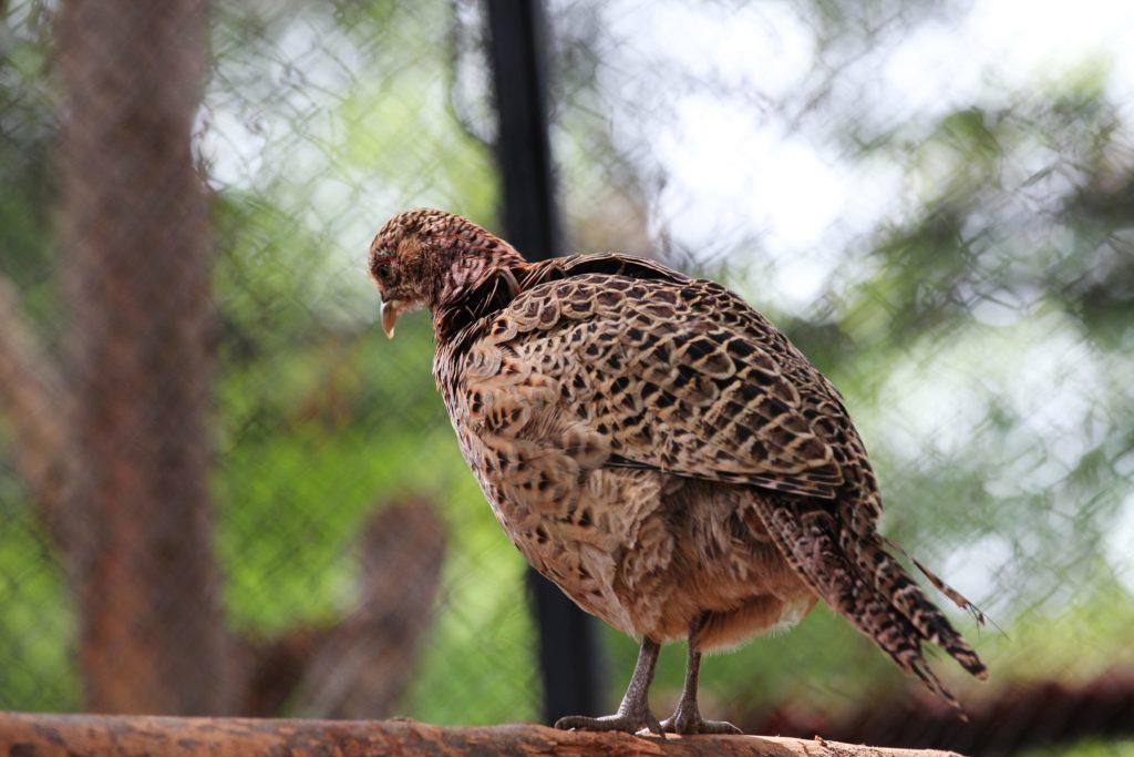 Серая джунглевая курица