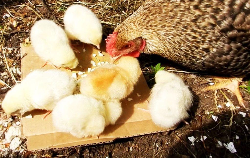 Кормить цыплят вареными яйцами