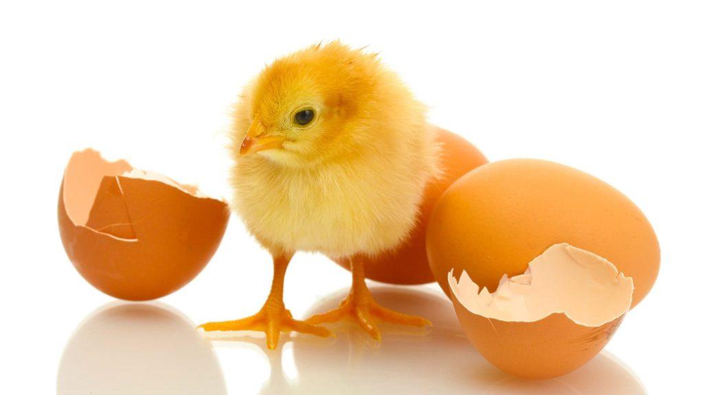 Яичная скорлупа для цыплят