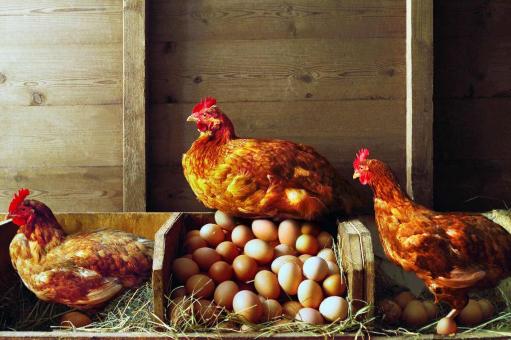 В каком возрасте самки начинают нести яйца