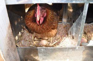 Сколько яиц можно подложить под курицу