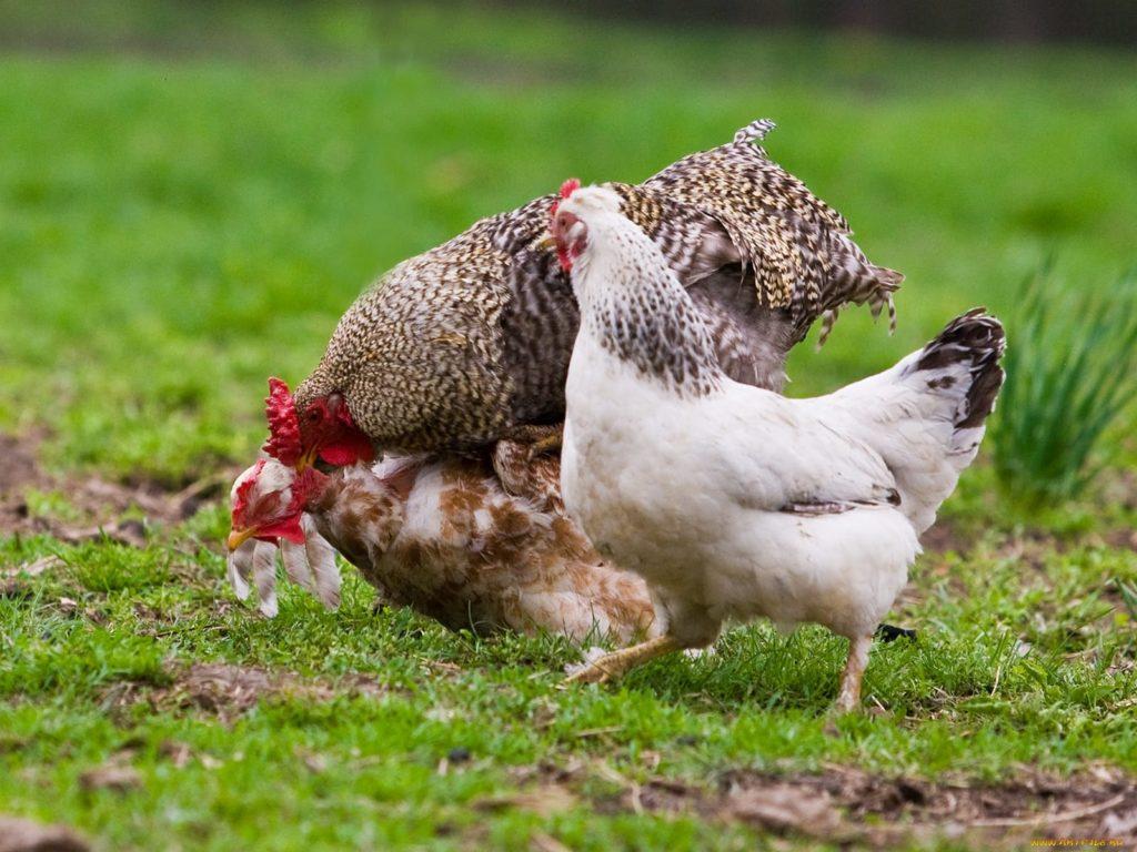 Оплодотворение курицы
