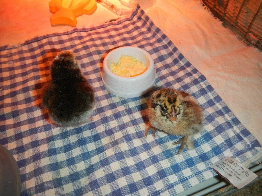 Питание цыплят