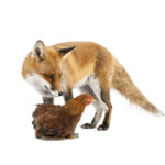 Как избавиться от лис и других хищников, которые воруют кур
